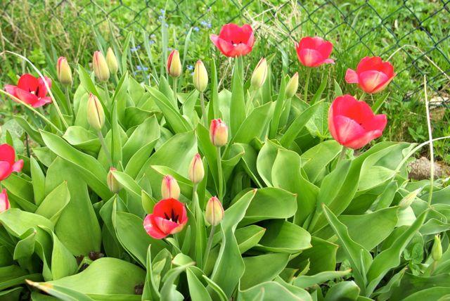 Tulpen blühen auf