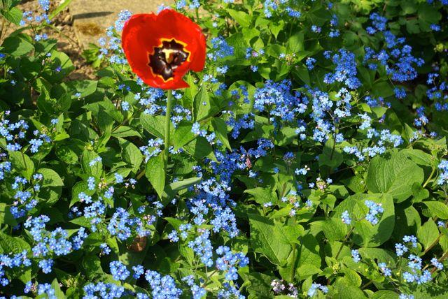Tulpenblau
