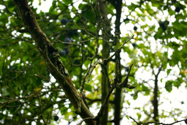 Zwetschgenbaum