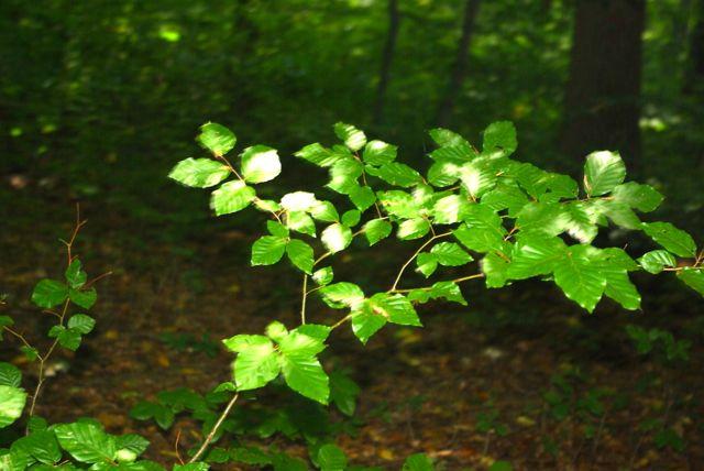 Waldschößling