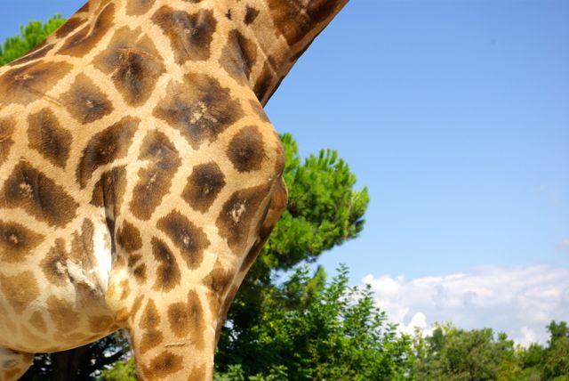giraffe steckbrief für kinder